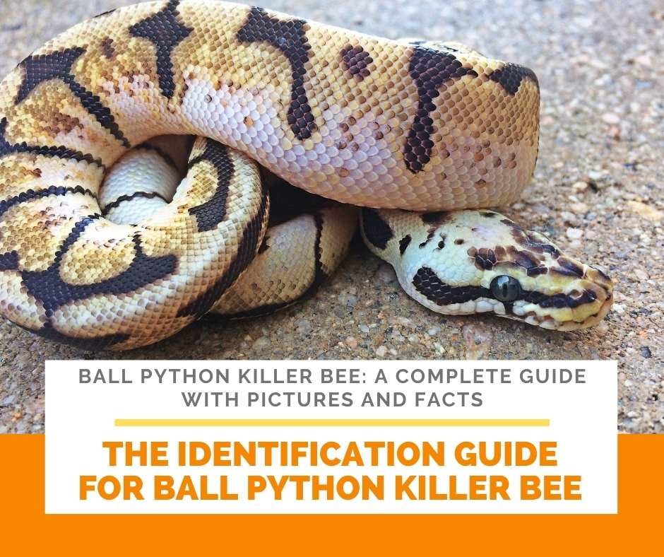 The Identification Guide For Ball Python Killer Bee
