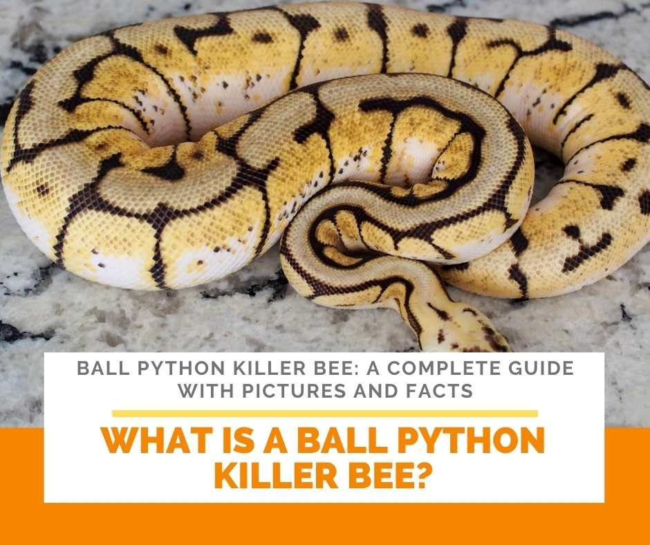 What Is A Ball Python Killer Bee?