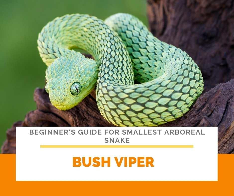 Bush Viper