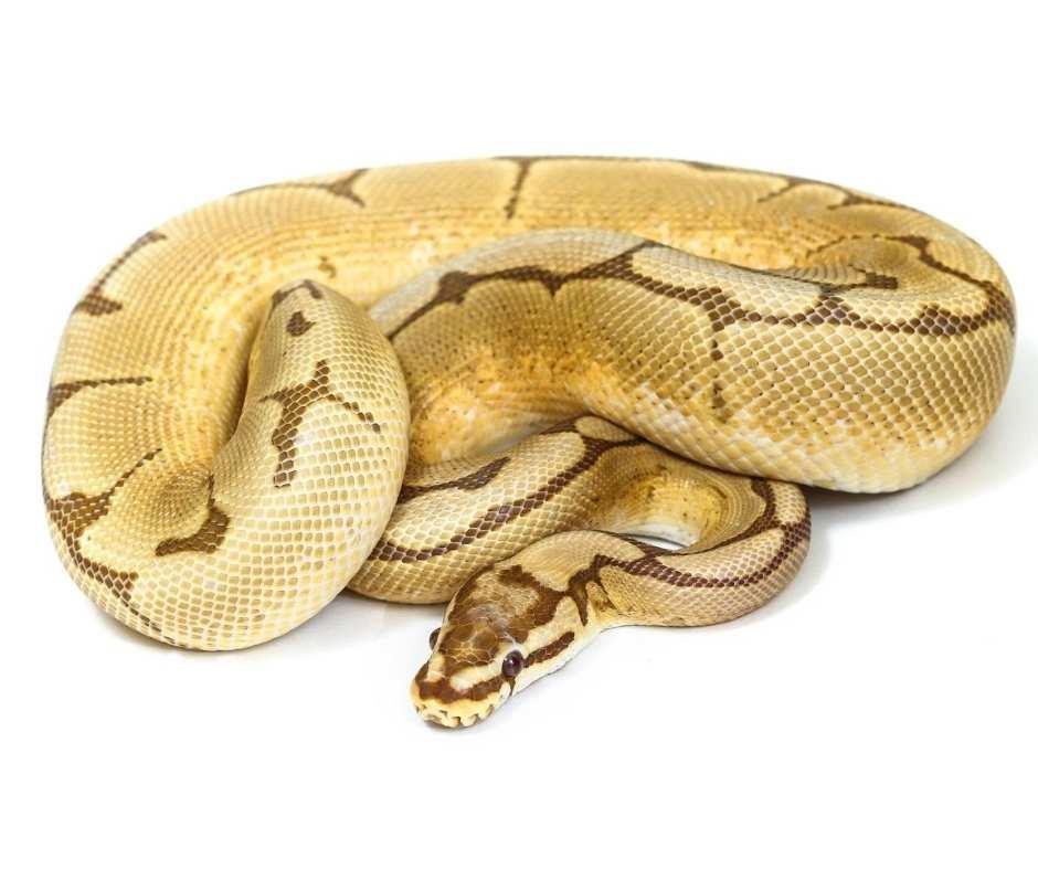 Butter Morph Ball Python