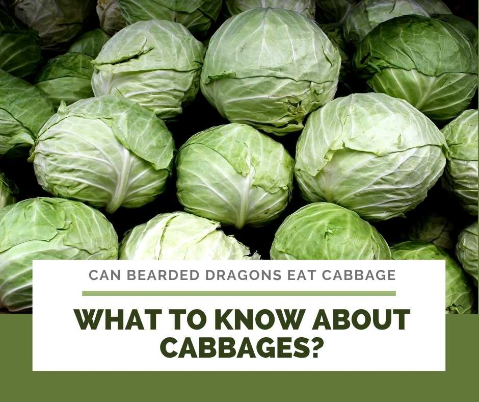What To Know About Cabbages?