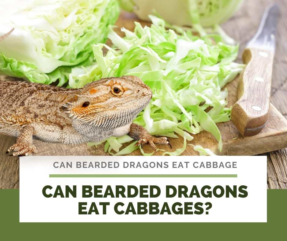 Can Bearded Dragons Eat Cabbages?