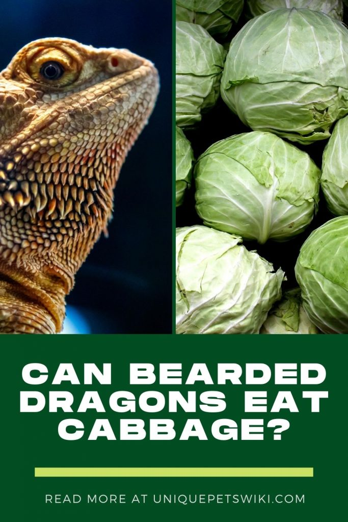 Can Bearded Dragons Eat Cabbage Pinterest Pin