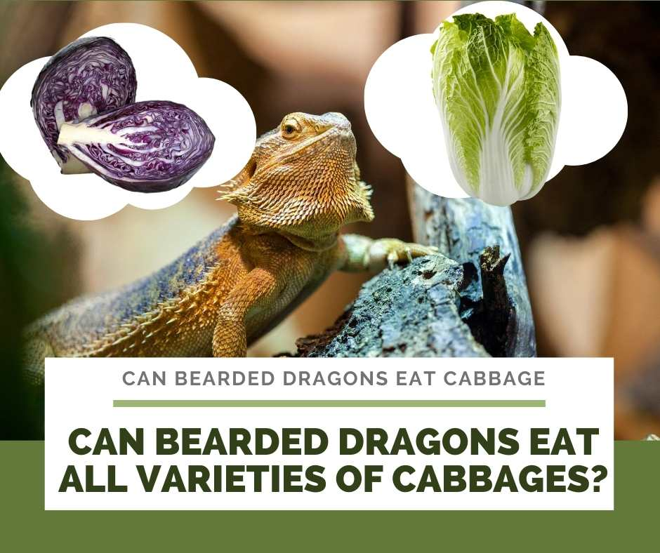Can Bearded Dragons Eat All Varieties Of Cabbages?