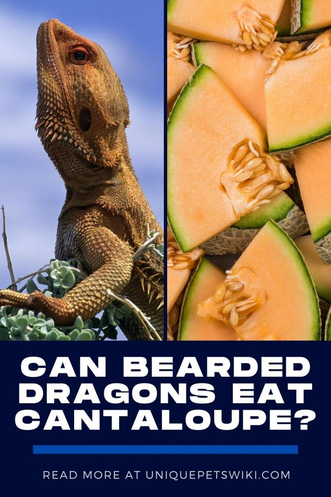 Can Bearded Dragons Eat Cantaloupe