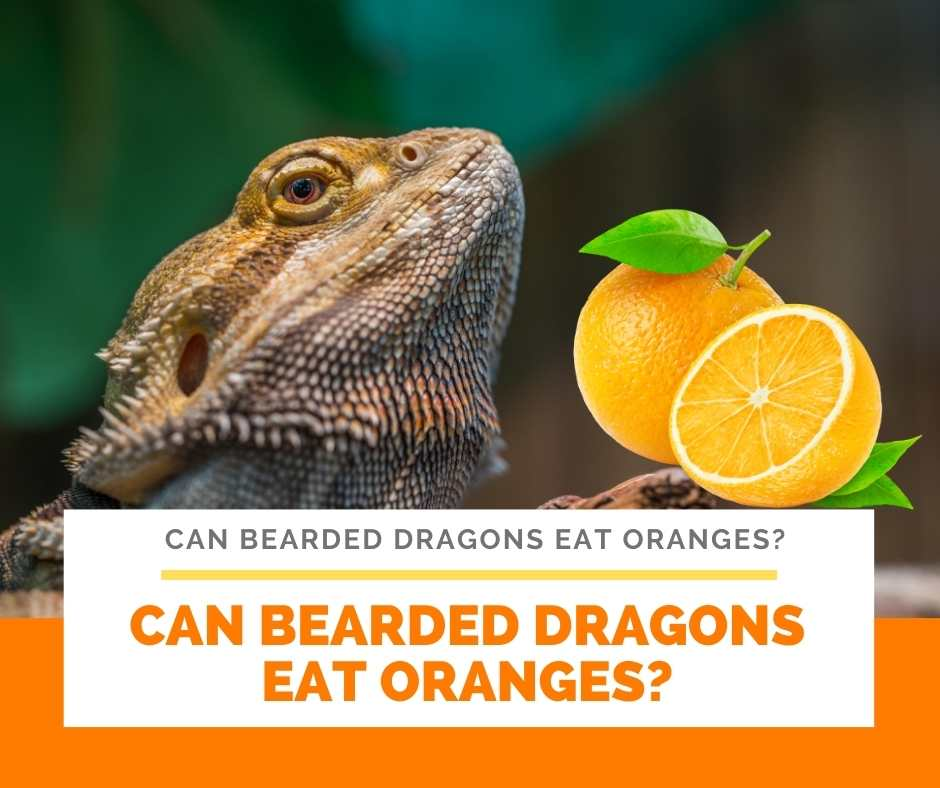 Can Bearded Dragons Eat Oranges?