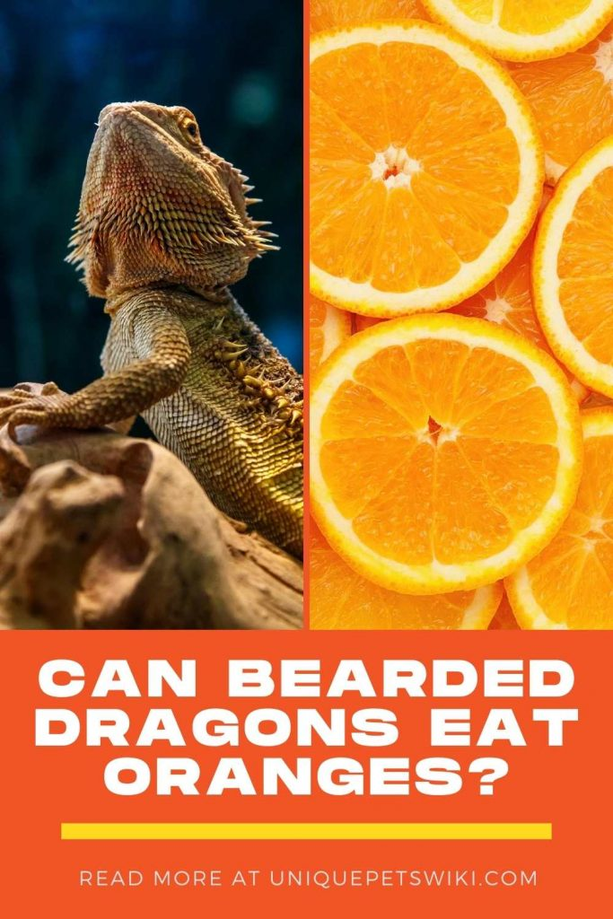 Can Bearded Dragons Eat Oranges Pinterest Pin