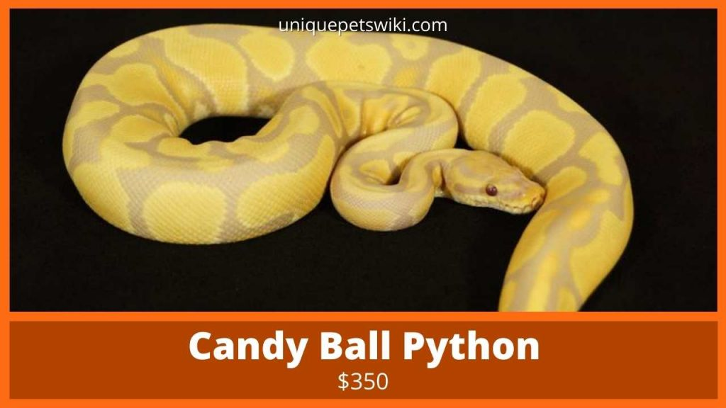 Candy Ball Python