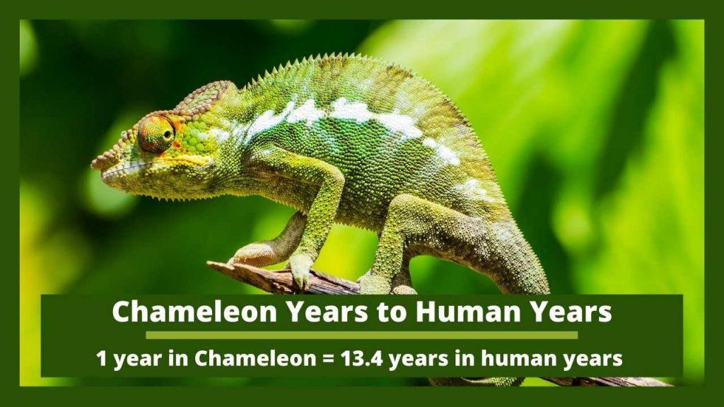 Chameleon Years to Human Years