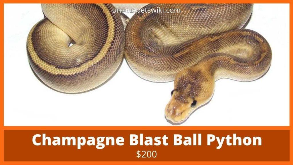 Champagne Ball Python
