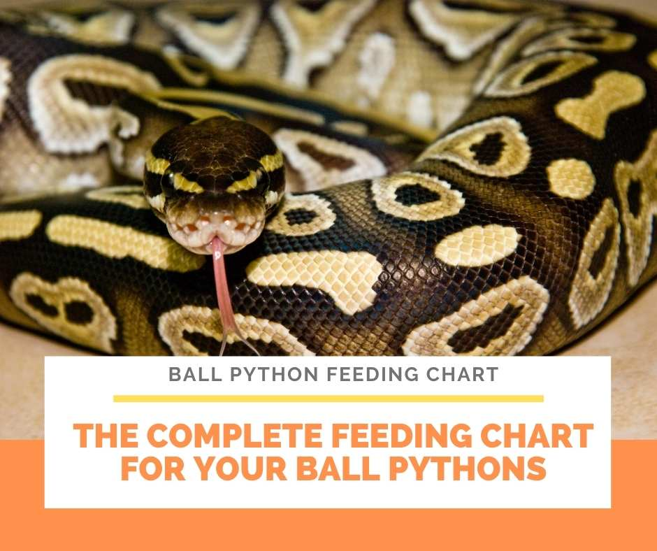 The Complete Feeding Chart For Your Ball Pythons
