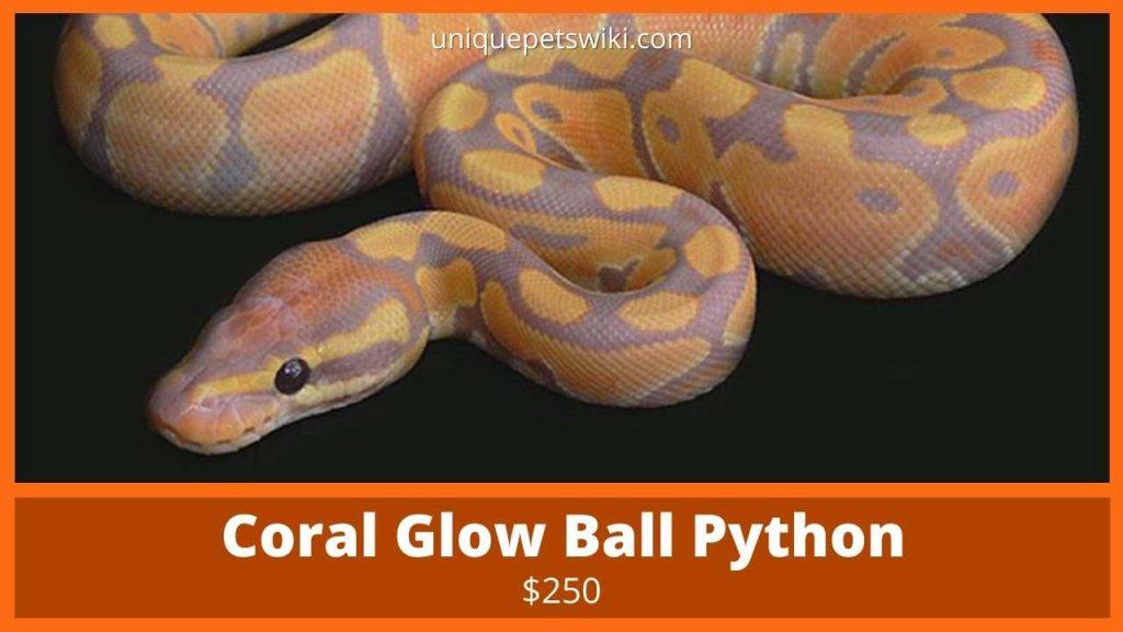 Coral Glow Ball Python
