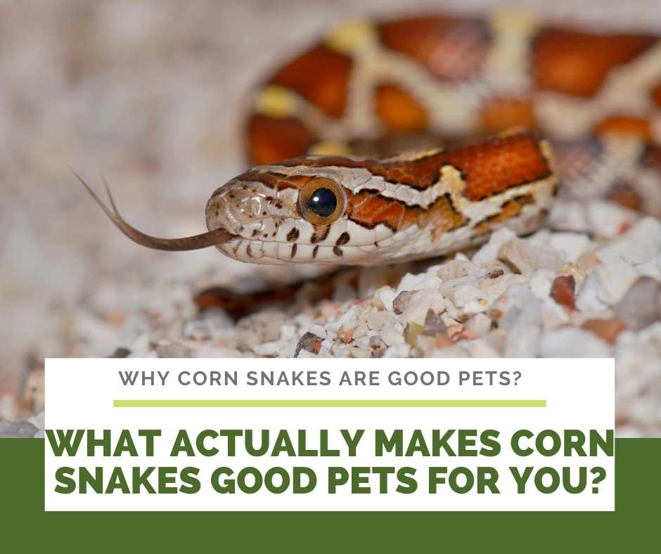 What Actually Makes Corn Snakes Good Pets For You?