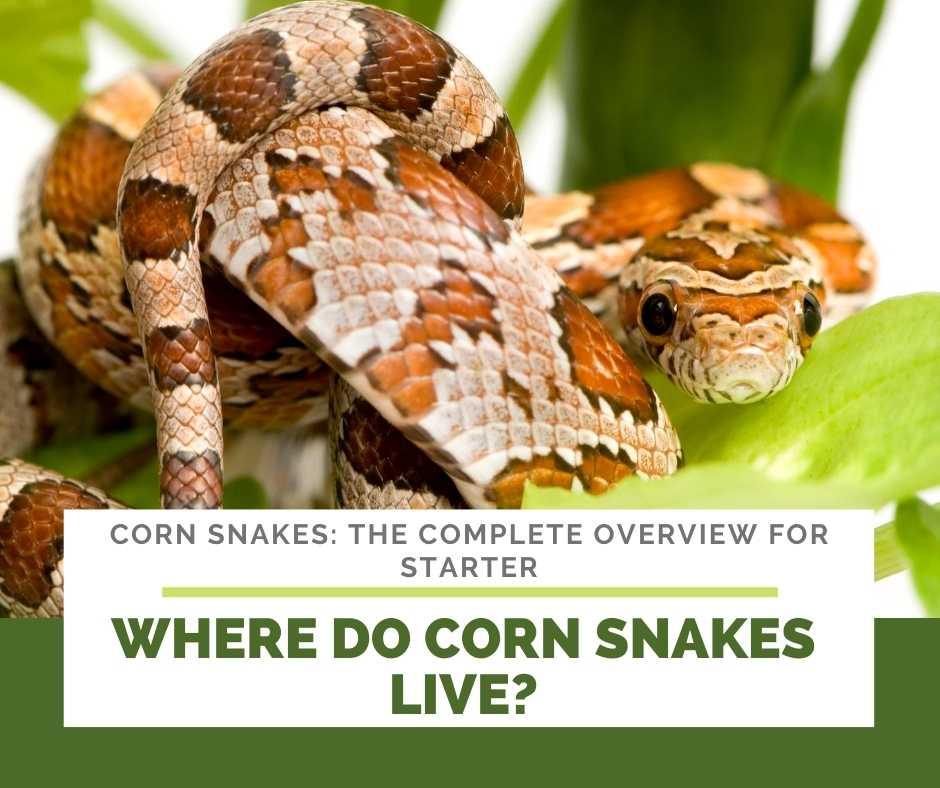 Where Do Corn Snakes Live?
