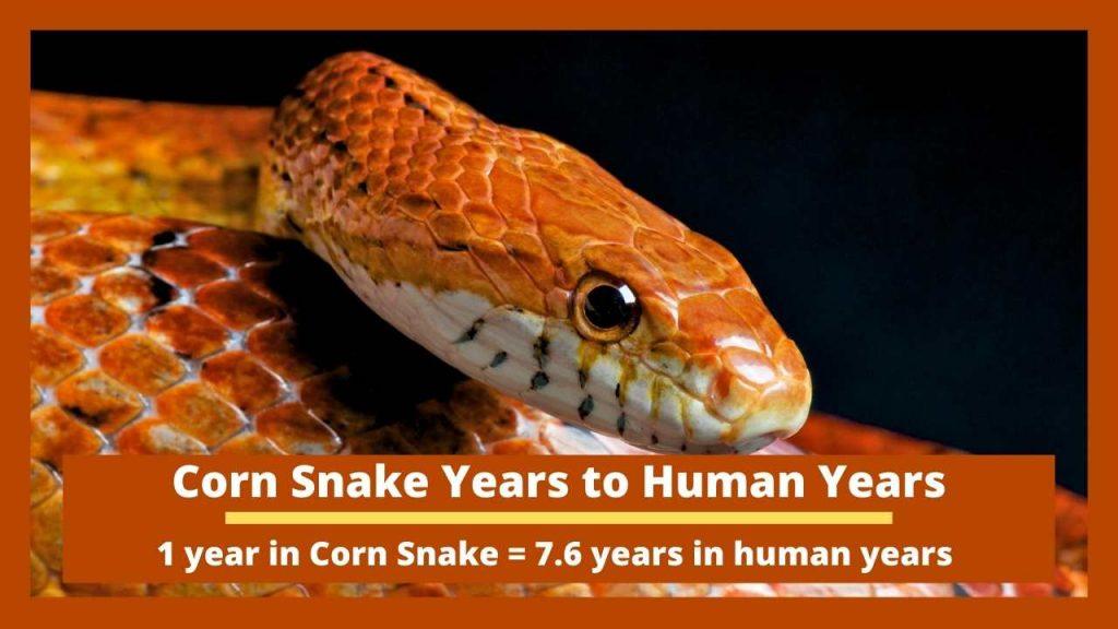 Corn Snake Years to Human Years