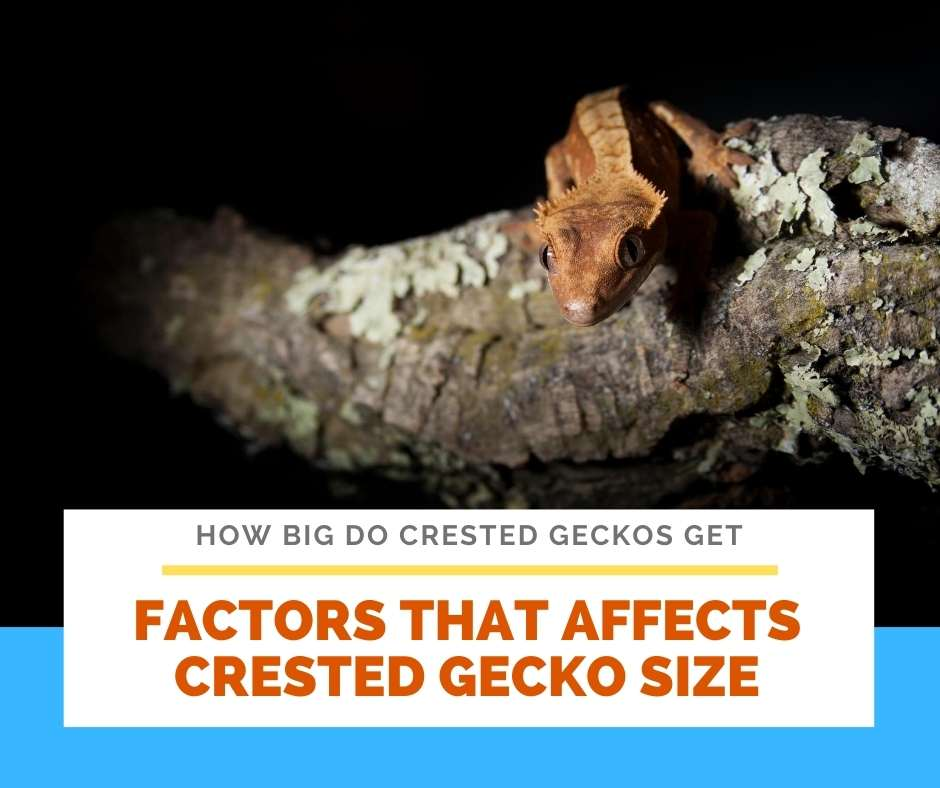 Factors That Affects Crested Gecko Size