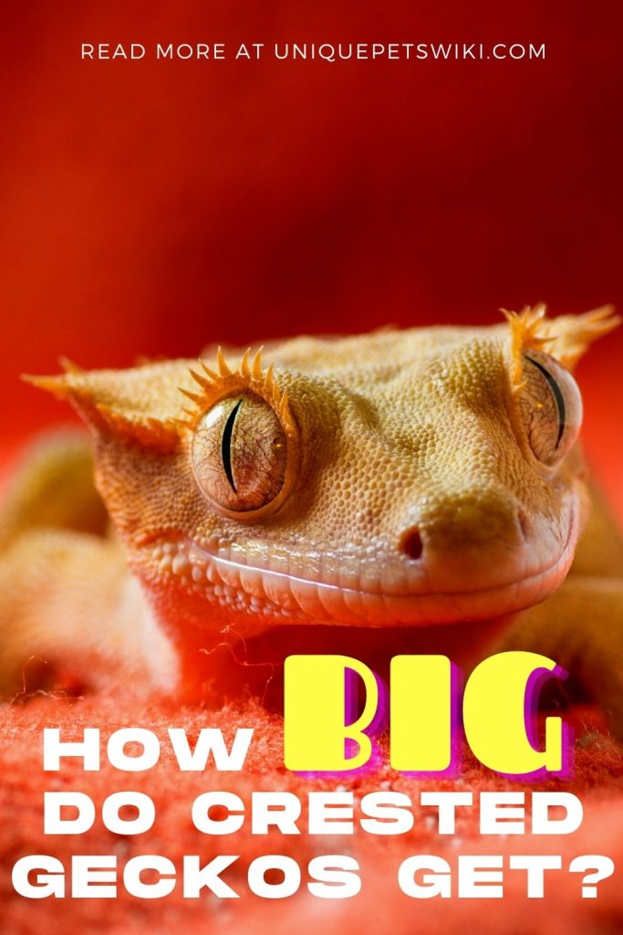 Crested Gecko Growth Pinterest Pin