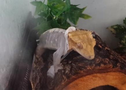 Crested Gecko Shedding