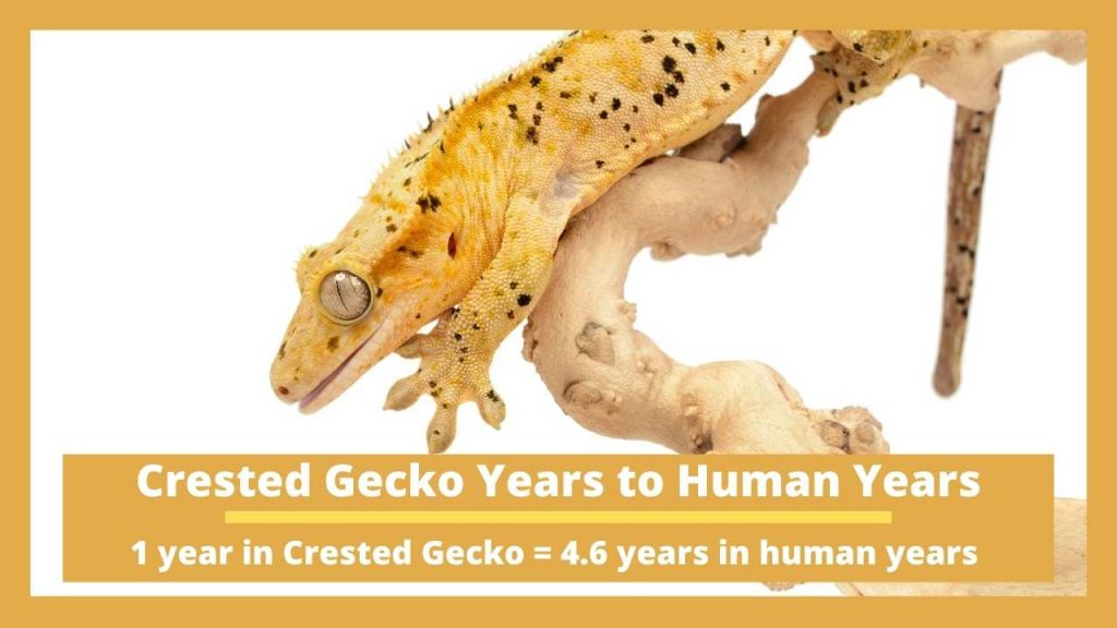 Crested Gecko Years to Human Years