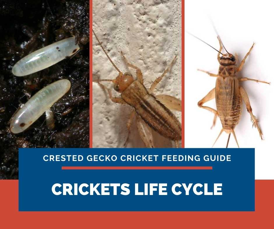 Crickets Life Cycle