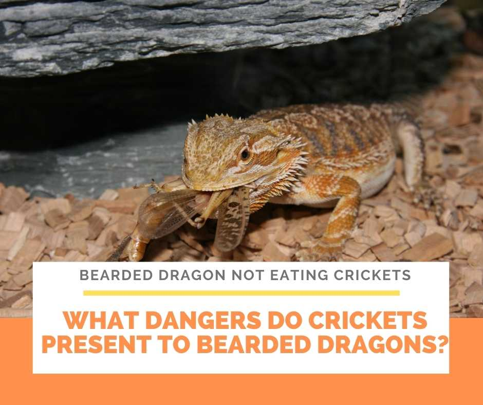 What Dangers Do Crickets Present To Bearded Dragons?