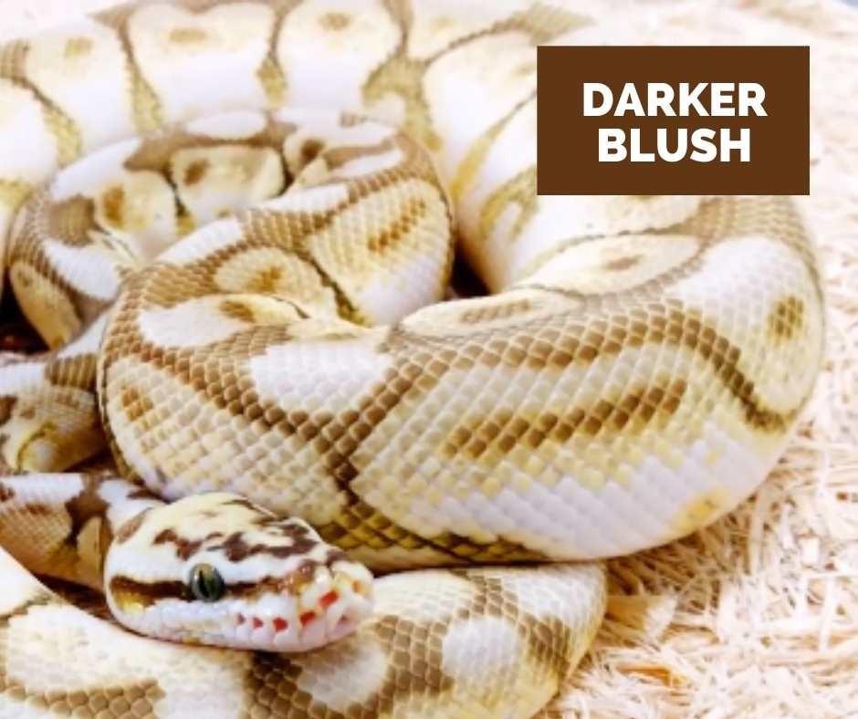 Ball Python Queen Bee Blushing