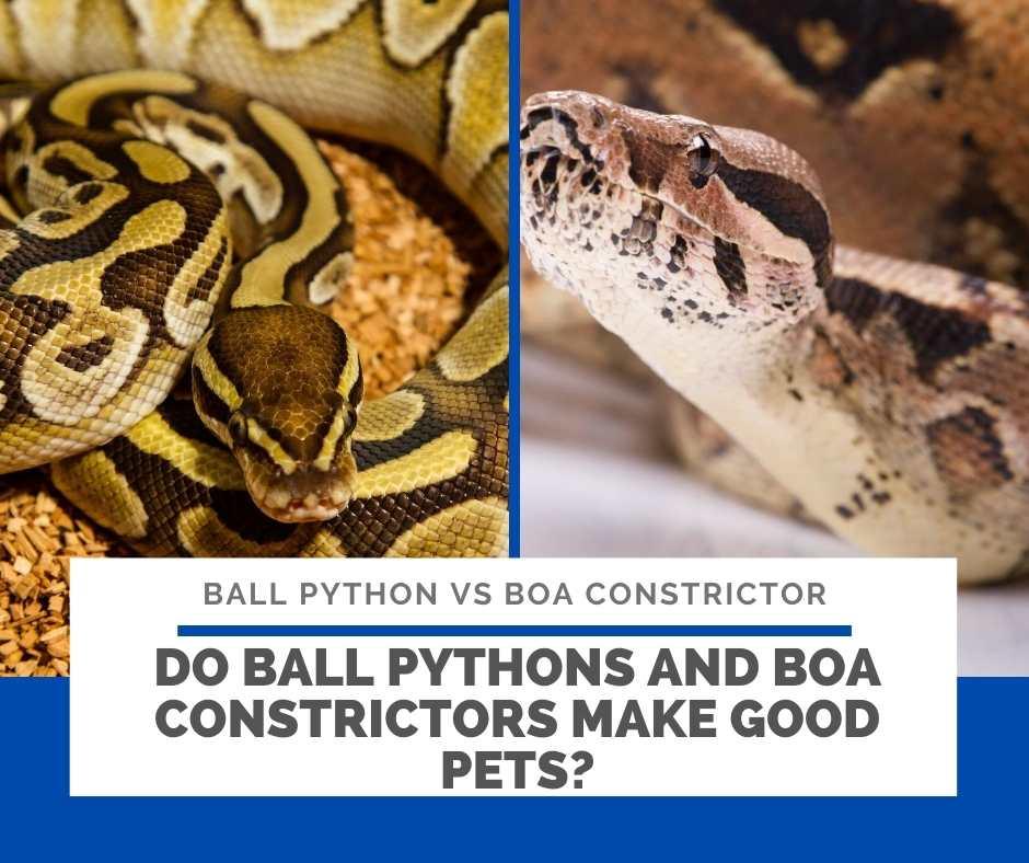 Do Ball Pythons And Boa Constrictors Make Good Pets?