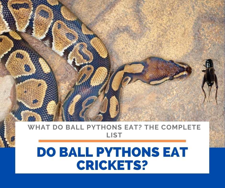 Do Ball Pythons Eat Crickets?