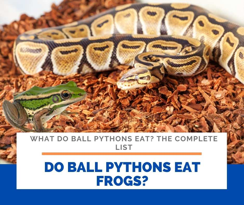 Do Ball Pythons Eat Frogs?