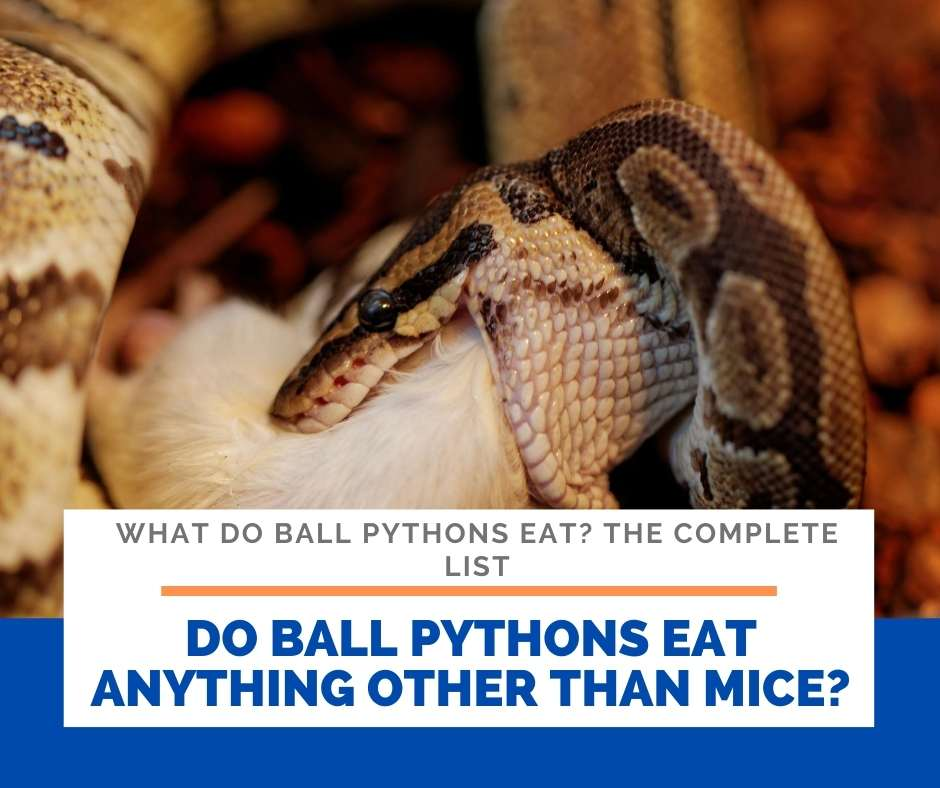 Do Ball Pythons Eat Anything Other Than Mice?