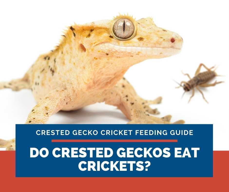 Do Crested Geckos Eat Crickets?