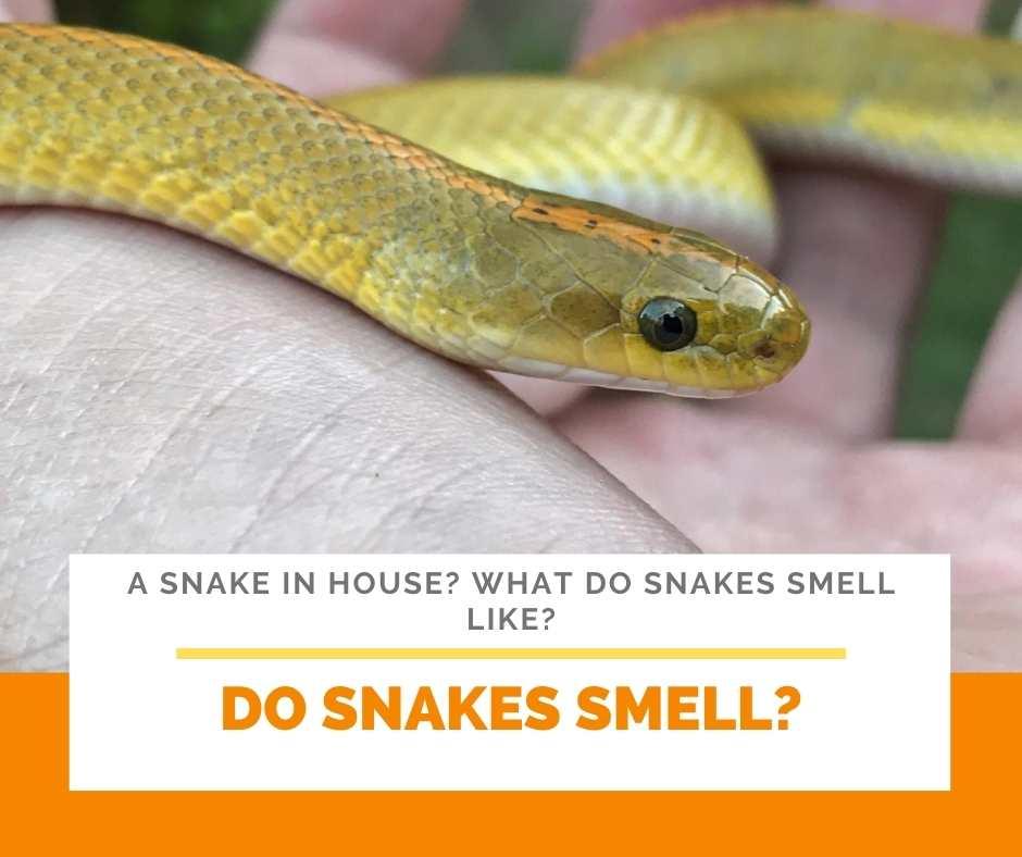Do Snakes Smell?