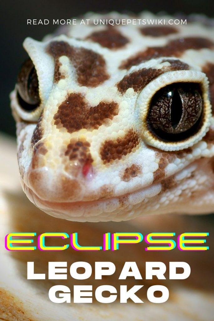 Eclipse Leopard Gecko Pinterest Pin