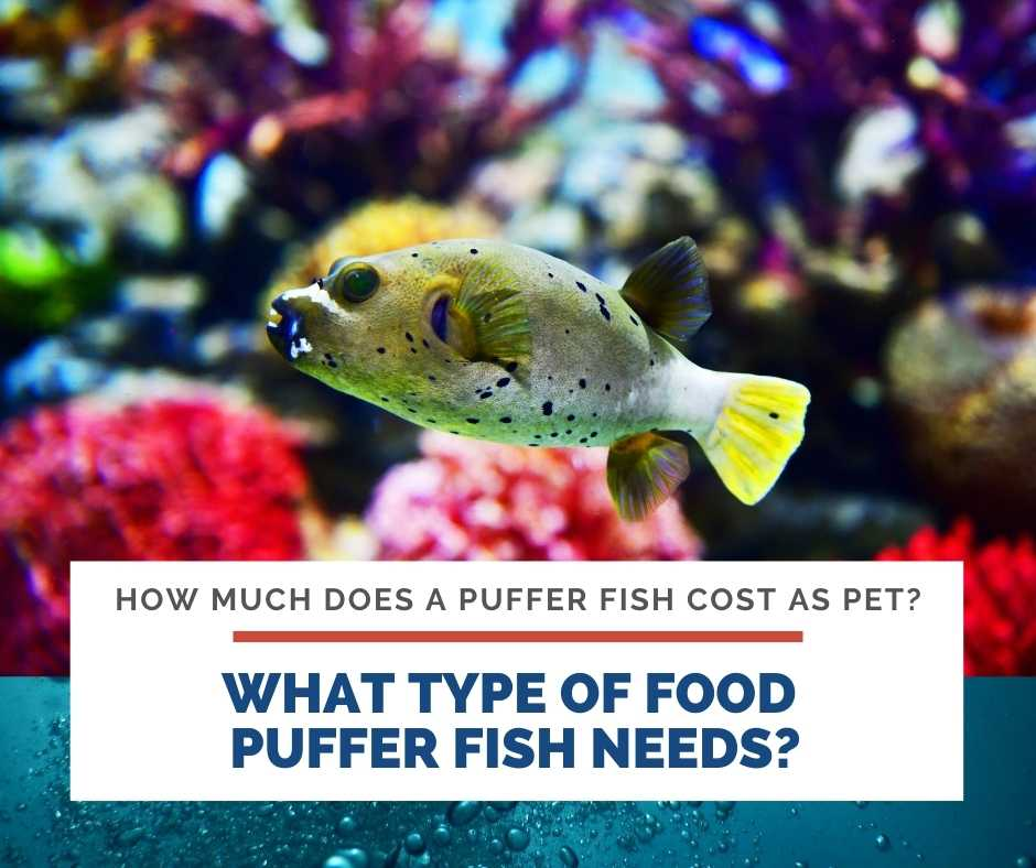 What Type Of Food Puffer Fish Needs?