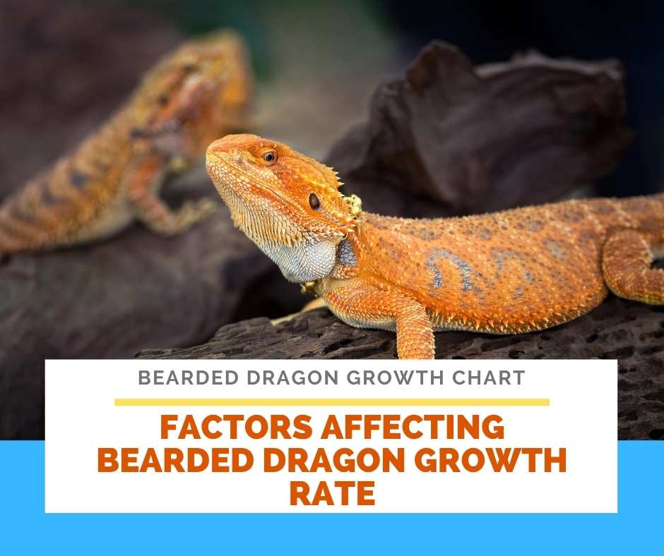 Factors Affecting Bearded Dragon Growth Rate