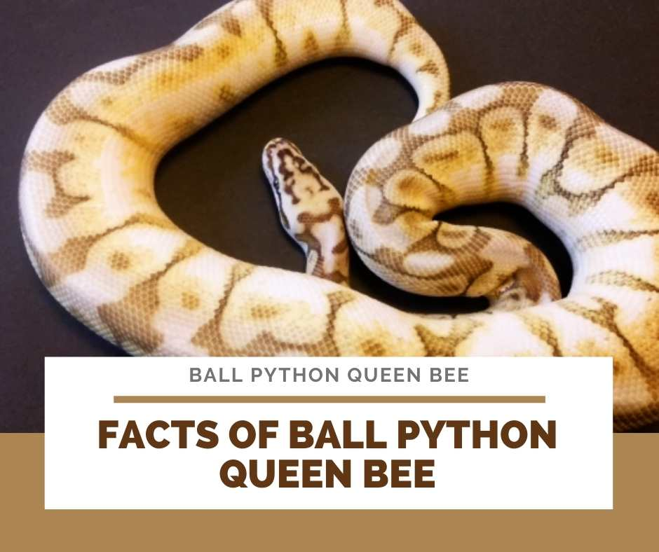 Facts Of Ball Python Queen Bee