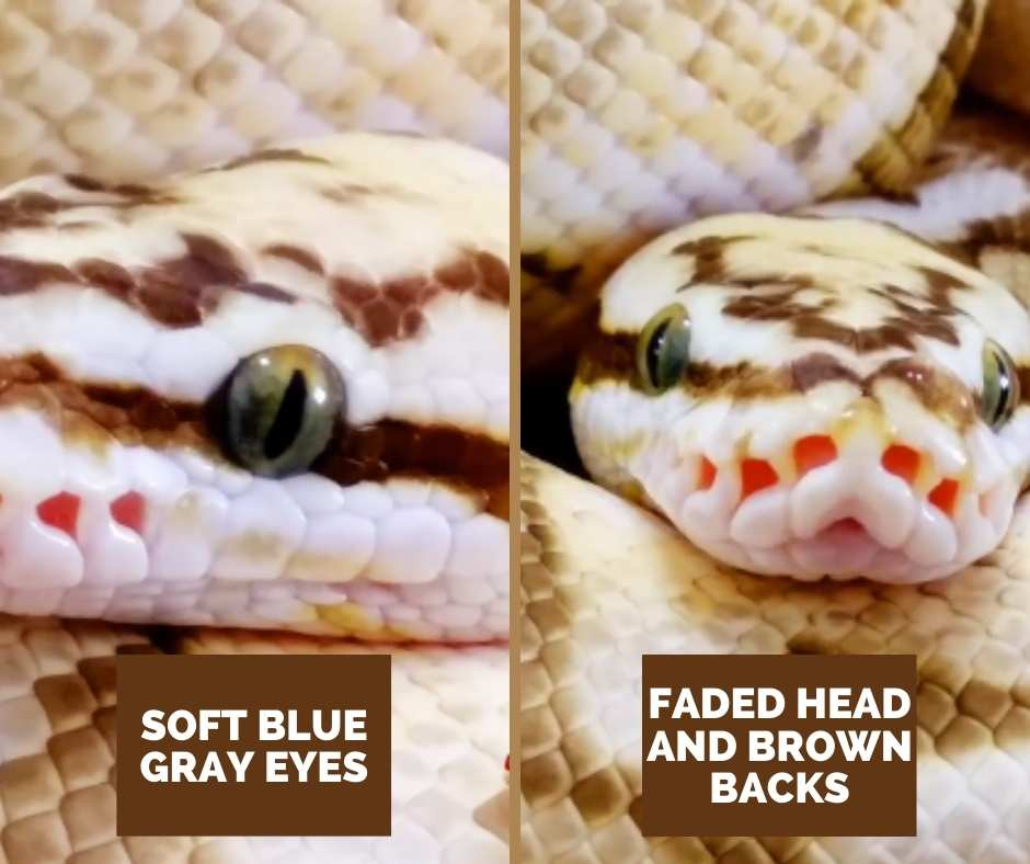 Ball Python Queen Bee Color Of Eyes And Head