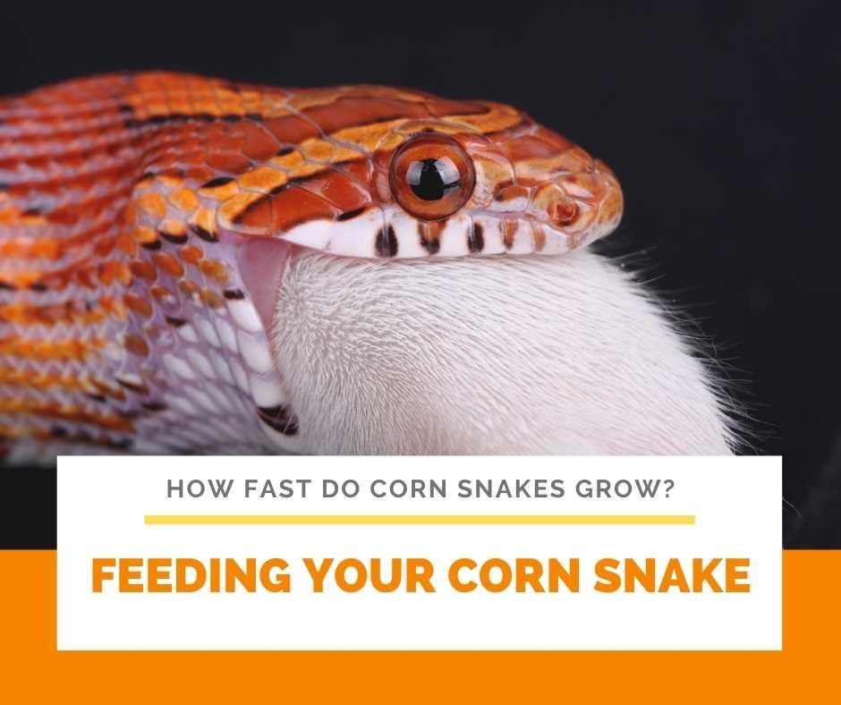 Feeding Your Corn Snake