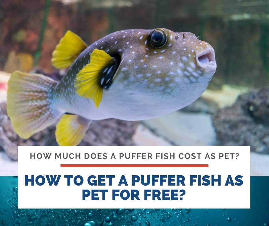 How To Get A Puffer fish As Pet For Free?