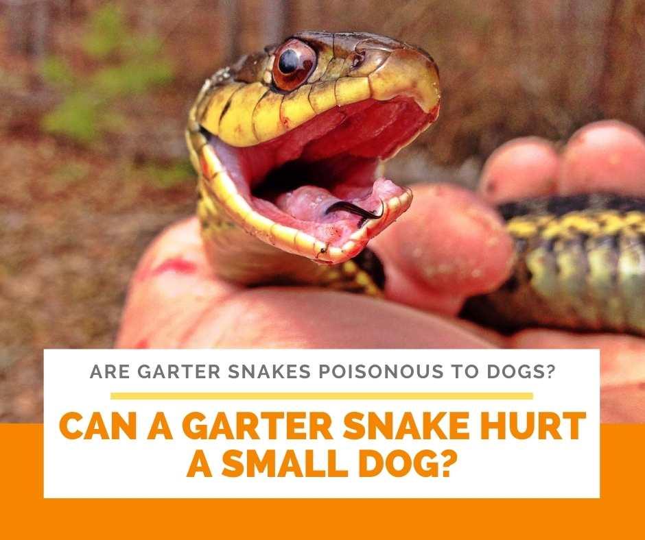 Can A Garter Snake Hurt A Small Dog?