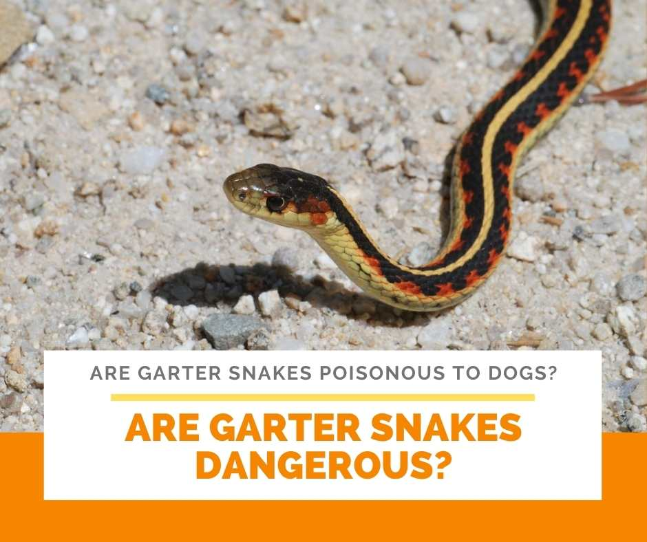 Are Garter Snakes Dangerous?