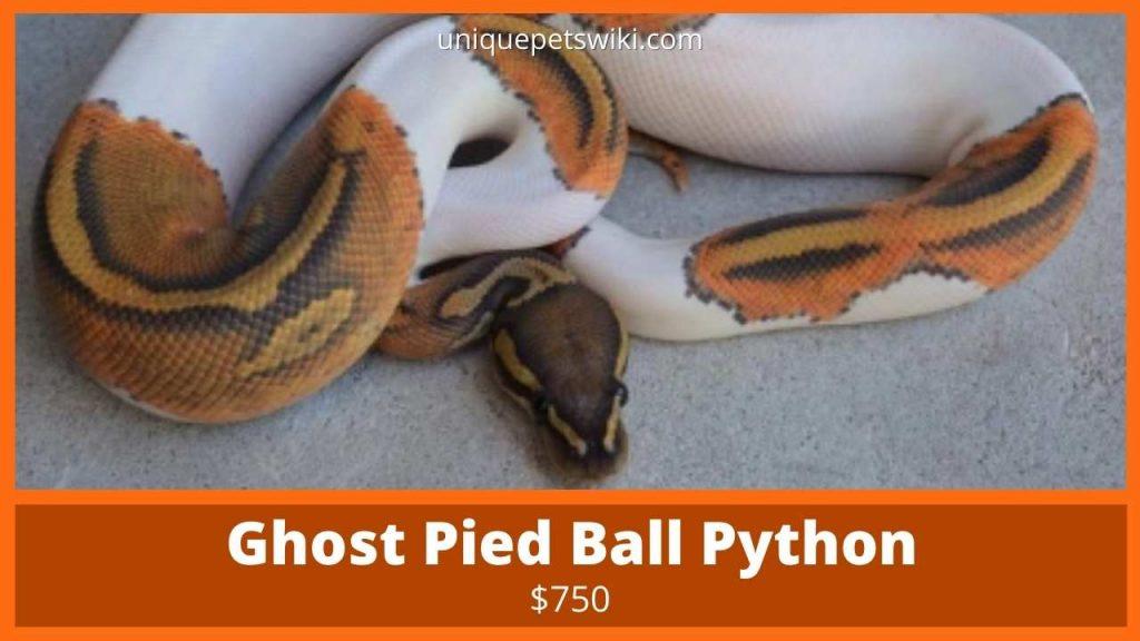 Ghost Pied Ball Python