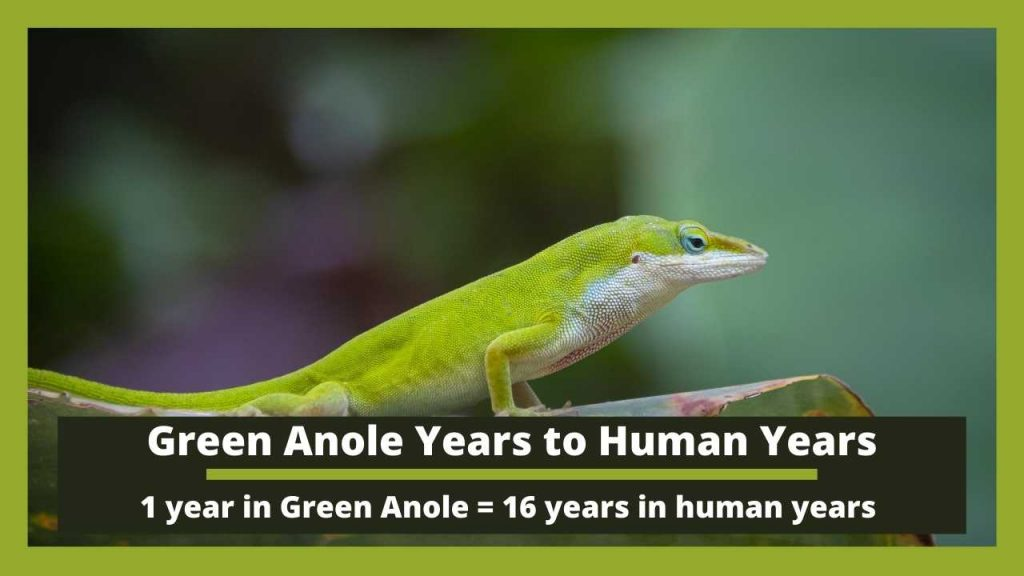 Green Anole Years to Human Years