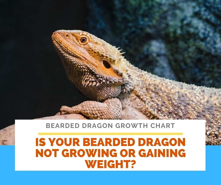 Is Your Bearded Dragon Not Growing Or Gaining Weight?