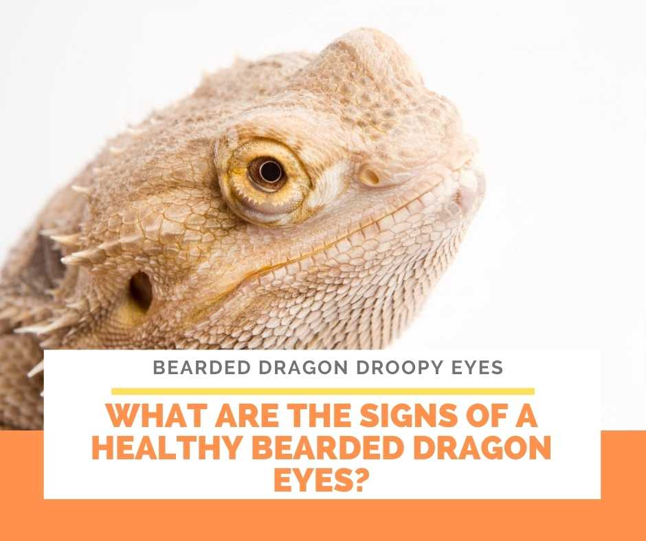 What Are The Signs Of A Healthy Bearded Dragon Eyes?