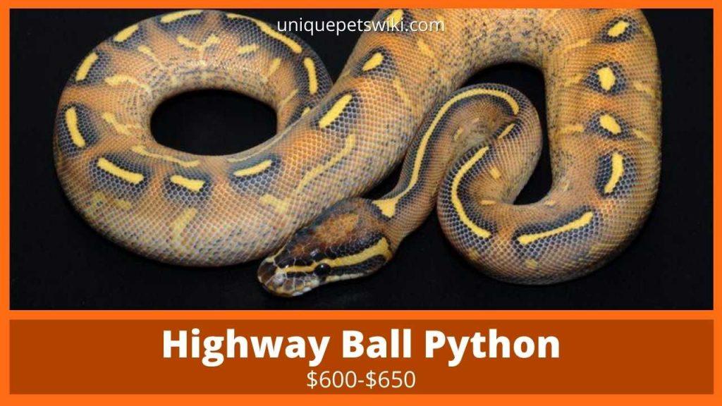 Highway Ball Python