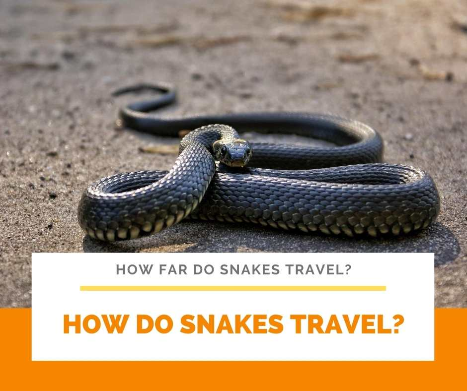 How Do Snakes Travel?