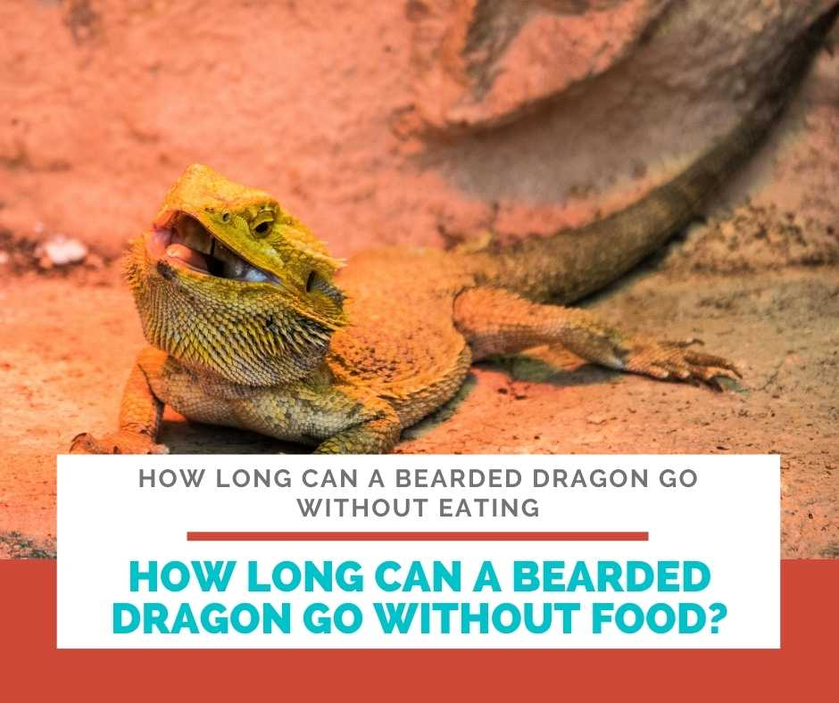 How Long Can A Bearded Dragon Go Without Food?