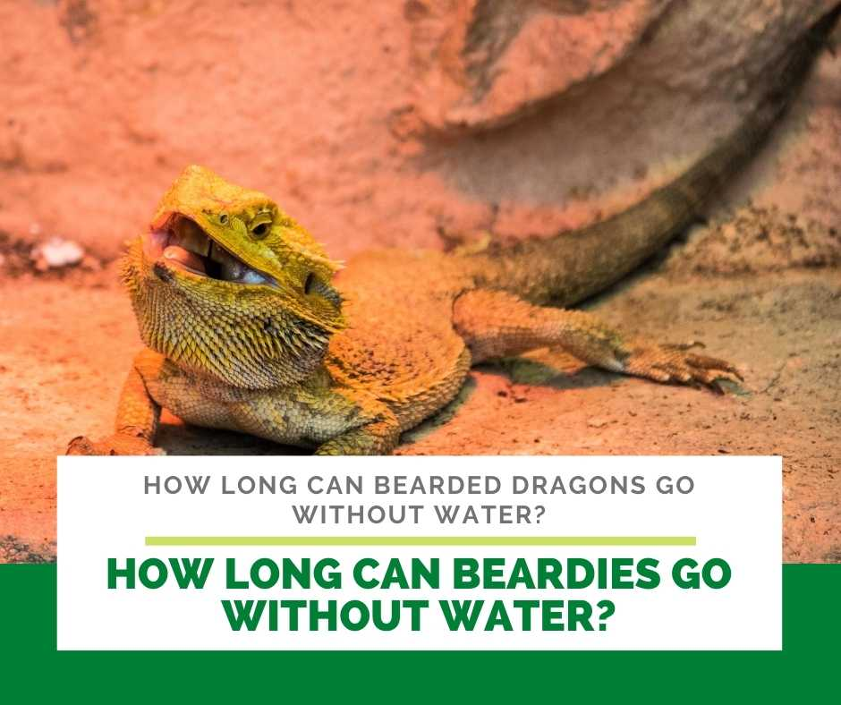 How Long Can Beardies Go Without Water?