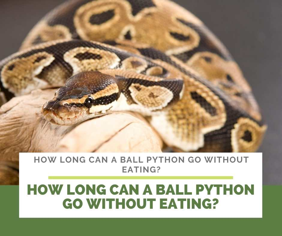 How Long Can A Ball Python Go Without Eating?